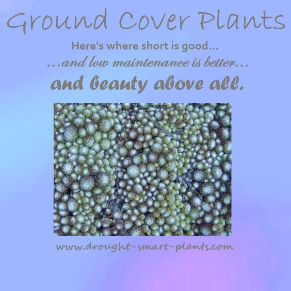 Ground Cover Plants - more than just beautiful - http://www.drought-smart-plants.com/ground-cover-plants.html