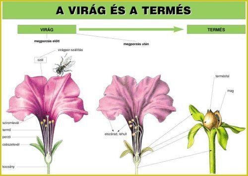 virág termés