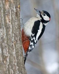 Great Spotted Woodpecker, Dendrocopos major, is distributed throughout Europe and northern Asia