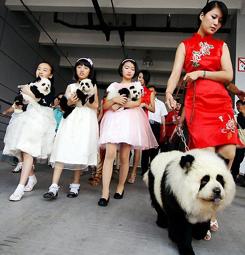 "A new version of ""designer"" dogs Panda bear dogs??..."