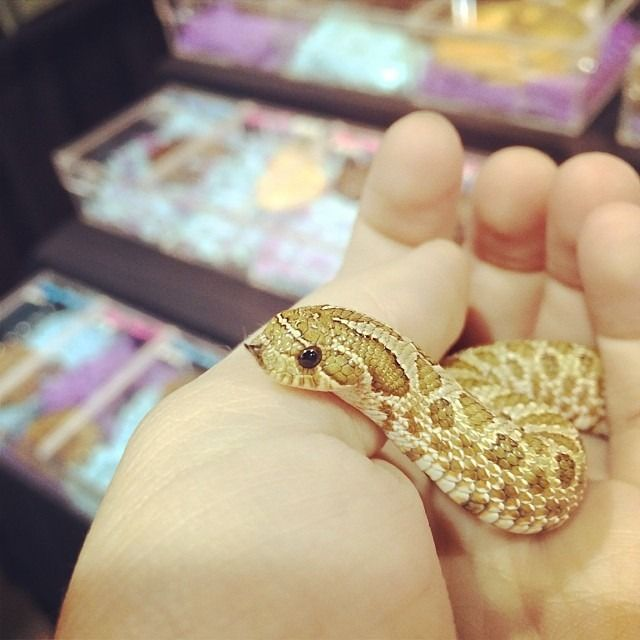 The cutest hognose!