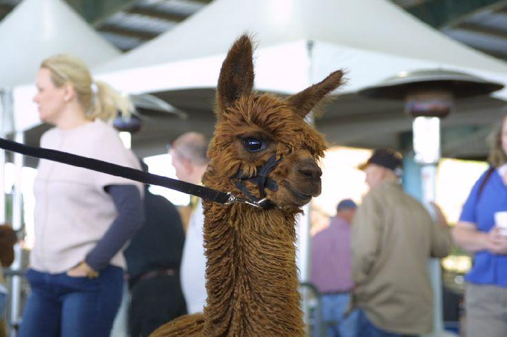 Alpaca farm in Dillsburg, PA, close to Harrisburg, PA, raise alpacas for sale