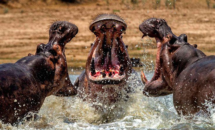 Une bataille pour savoir qui est le mâle dominant entre trois hippopotame se déroule sous les yeux du photographe en Zambie.