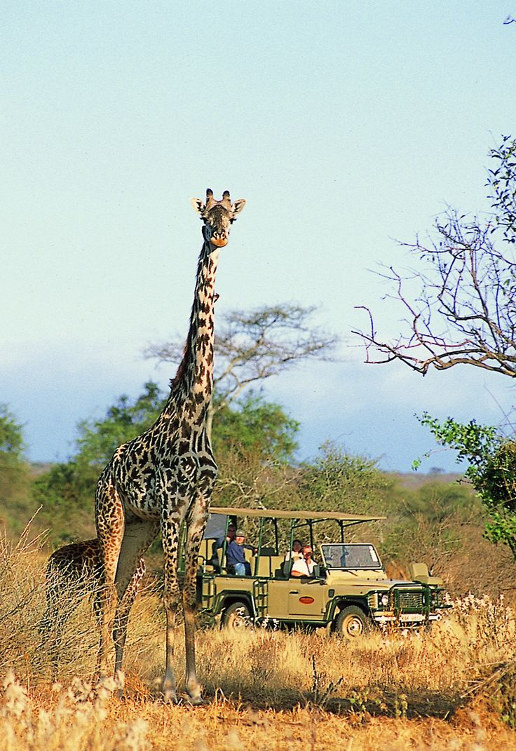 Giraffe spotted on a game drive whilst staying at Porini Amboseli in the private Selenkay Conservancy