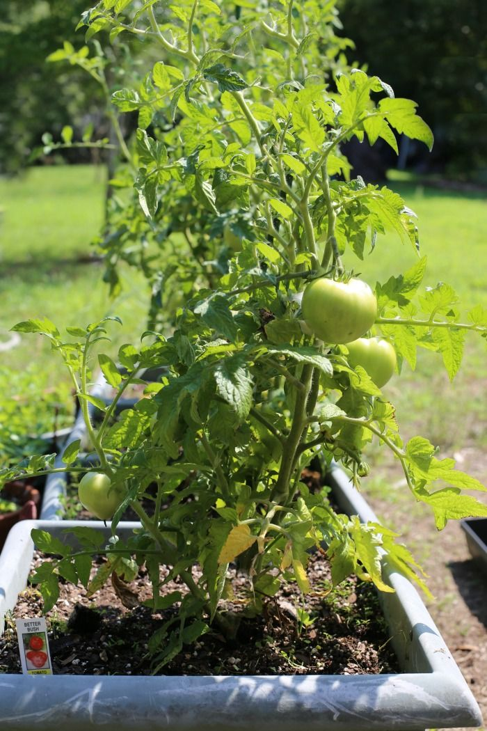 Growing Determinate Tomato Plants Perfect For Containers Growing Tomato Plants Determinate Tomatoes Tips For Growing Tomatoes