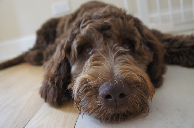 Pretty brown Labradoodle | Animals>humans | Pinterest ...