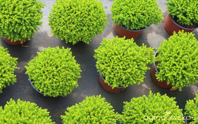 hebe green globe wra liwa na mr z ogr d pinterest globe garden ideas and plants. Black Bedroom Furniture Sets. Home Design Ideas