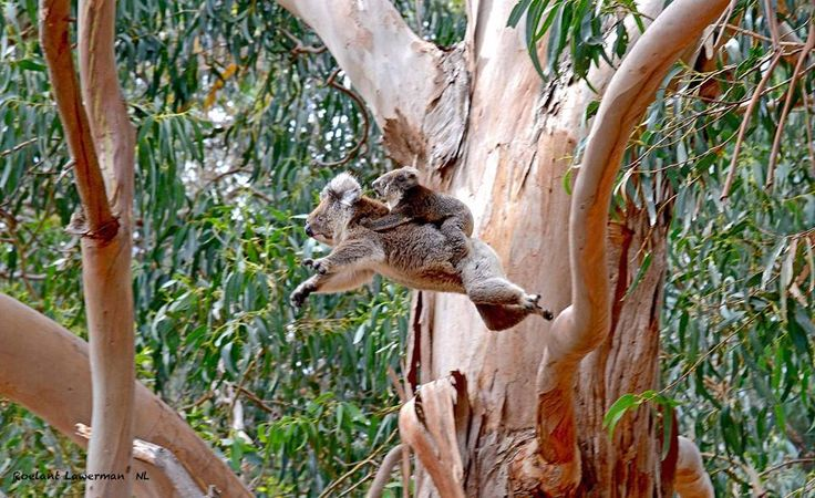 Agility++ Koalas jumping from one branch to another of the might gum tree - spectacular photo by Roelant Lawerman