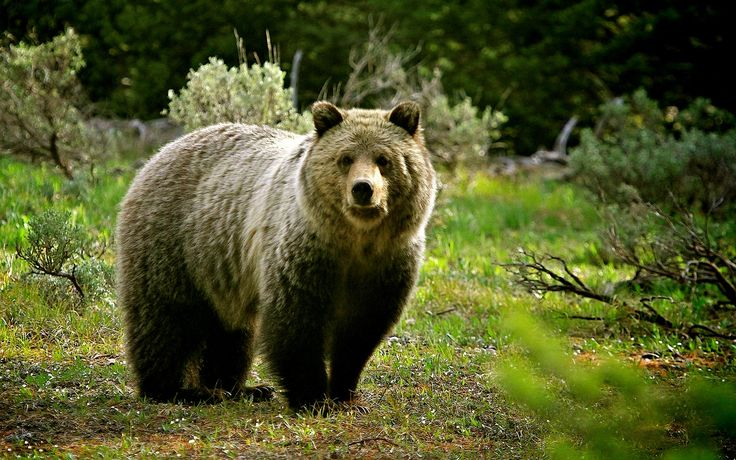bear wallpaper 41933