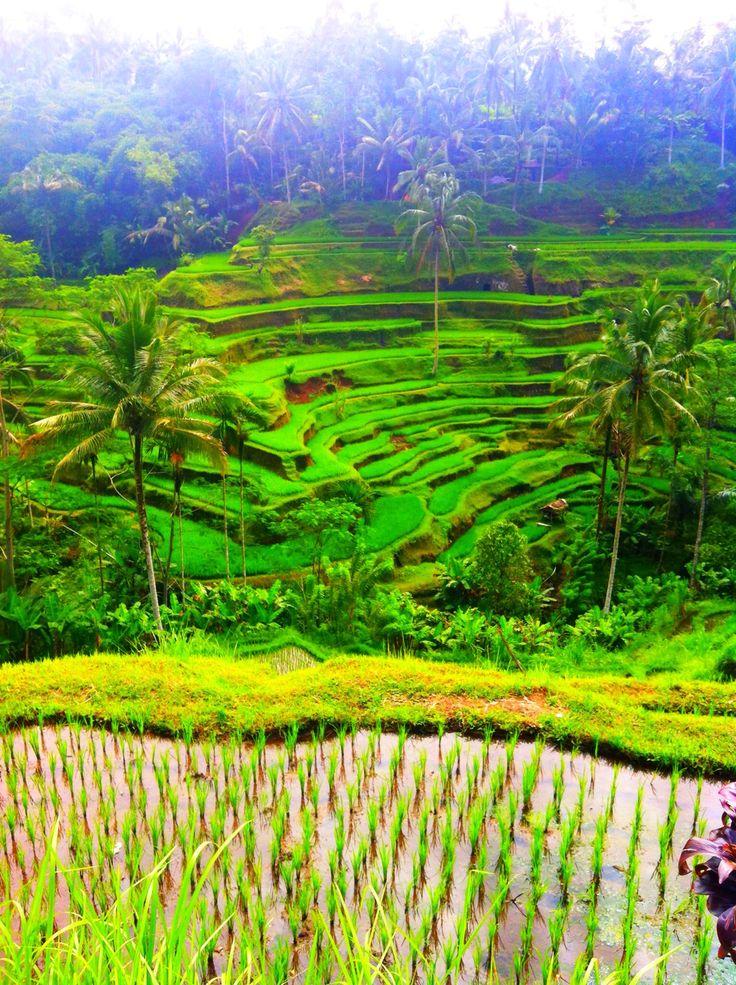 Rice paddies at Tegalalang, Ubud, Bali.