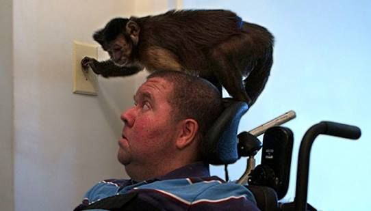 een huisdier, een echte levensgezel .. een kleine aap te zetten, bijvoorbeeld, wanneer het licht is verlamd en rolstoel