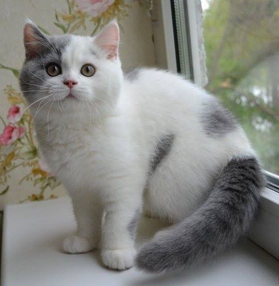 We will definitely breed British shorthairs!!! They are gorgeous and not hard to care For!! But before adopting any cats remember to do your research!!!