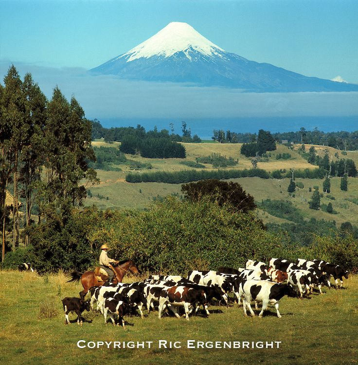 A huaso herds his cattle near Puerto Montt and Mt. Osorno, Chile.