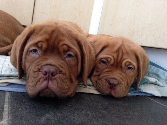 Dogue de Bordeaux Puppies for sale  So cute :D