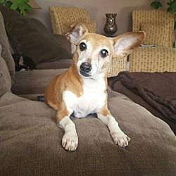 BRONX, NY - PIXIE is a CHIHUAHUA for adoption who needs a loving home.