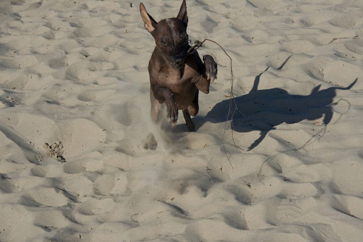 Luna - Peruvian Hairless Dog. One frolicing, playful dog. The sand dunes of Soesterduinen in The Netherlands are an ideal place for photo shoots and for letting your dogs run and play.