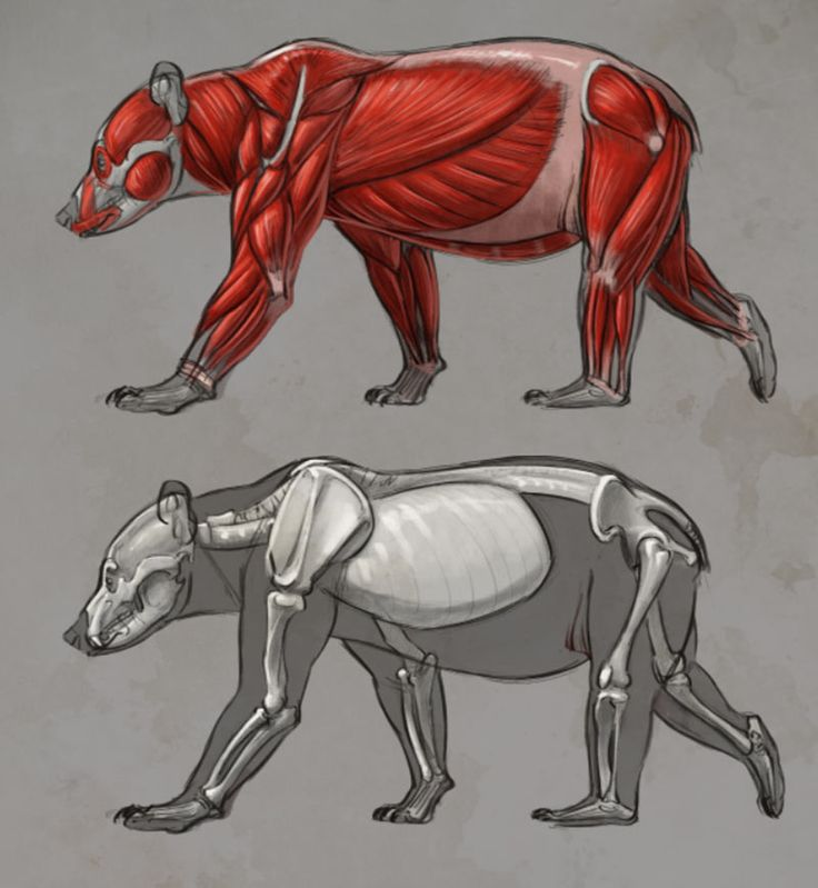 Bear anatomy drawings by Aaron Blaise.