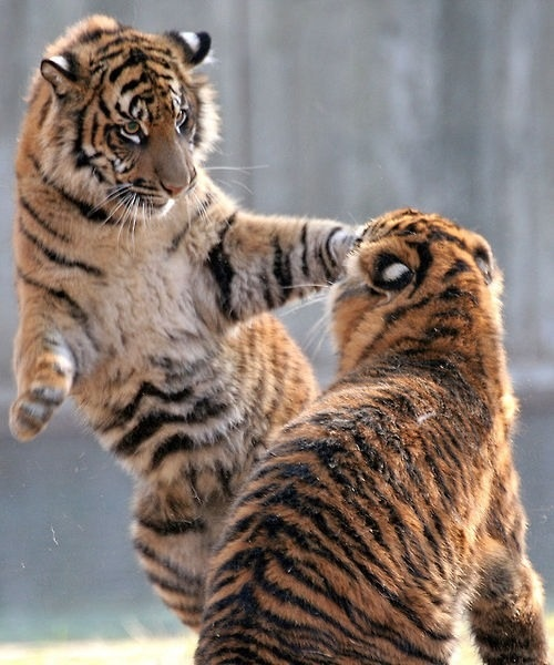 """""""Tiger Trouble!"""""""