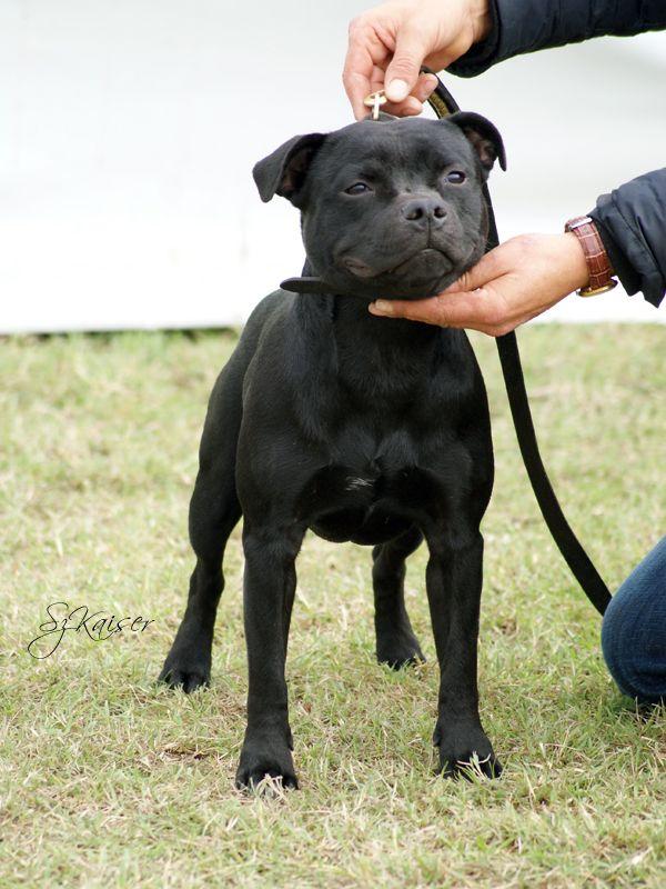 Asterion S Shine Rudolph Terrier Staffordshire Bull Terrier Bull Terrier