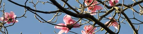 One of Trevorrick Farm's website header images. Magnolia blossom at the Lost Gardens of Heligan, Cornwall.