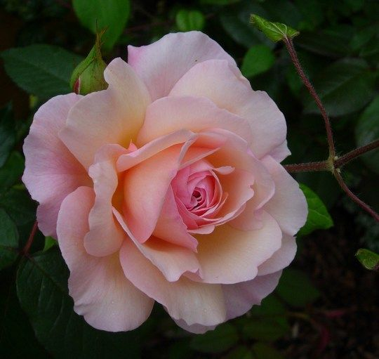 A Shropshire Lad - Shrub, yellow blend, 100 petals, 1997, rated 7.1 (average) by ARS.