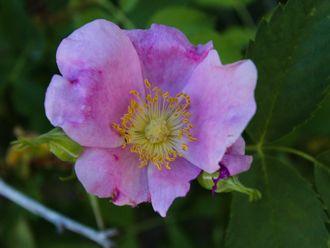 Image of Wild Rose Rosa californica