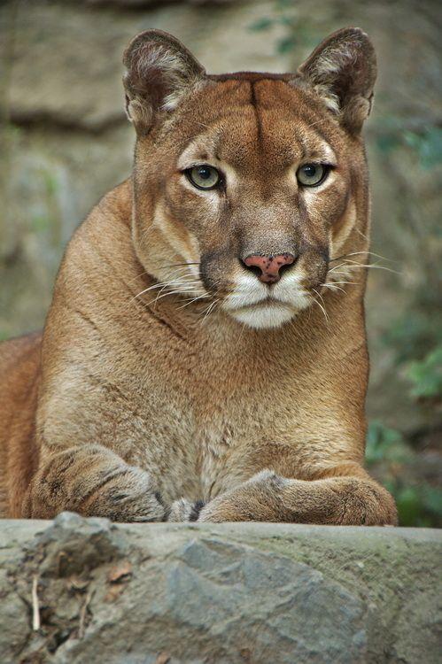 #cougar #puma #wildlife #katze #cats Big Cats #photography Copyright Aleksandar Vasic
