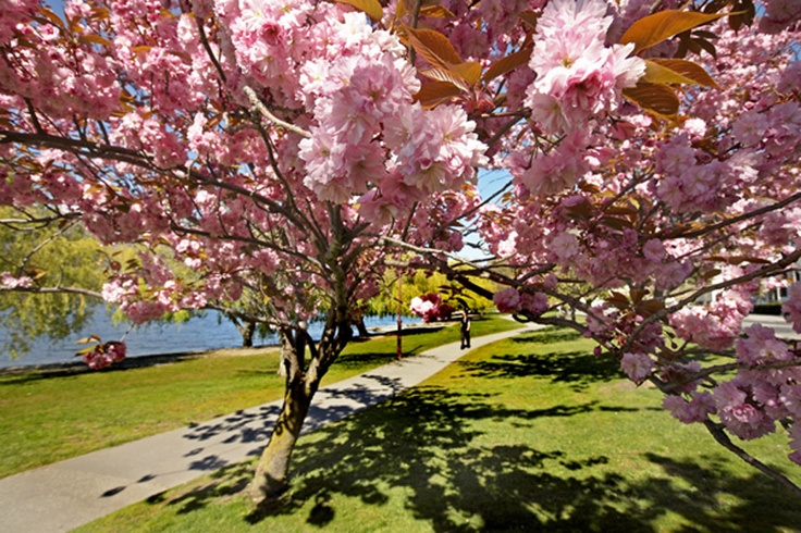 Spring blossoms along the Lake Esplanade Queenstown