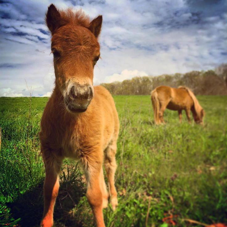 Little babe! #mini #pony #farmlife #madisonfields