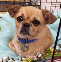 chiuaua pug puppies 17 best ideas about pug chihuahua mix on pinterest pug 7756