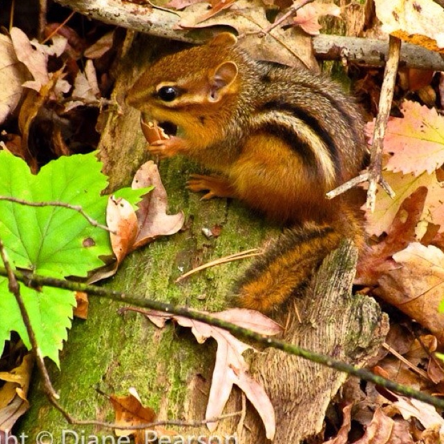 Best Chipmunks Squirrels Mice Cute Rodents Images On - Adorable chipmunks go on playful adventures with lego star wars toys