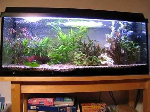 privates Aquarium 120l - YouTube - Tiger barbs and neons community fish tank