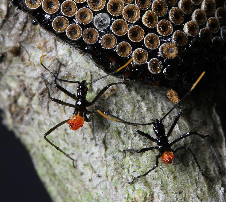 Newly emerged wheel bug nymphs. Plant diseases, Bugs