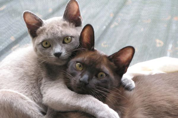 Affectionate Cats Need You As Much As You Want Them Burmese