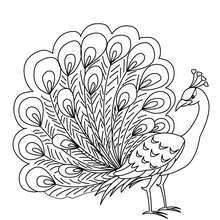 Peacock coloring page. Welcome to BIRD coloring pages! Enjoy coloring the Peacock coloring page on Hellokids.com! If you like challenging coloring pages, ...