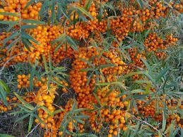 FAVORITT Tindved 0,5-3 m høy, spiselige bær om høsten