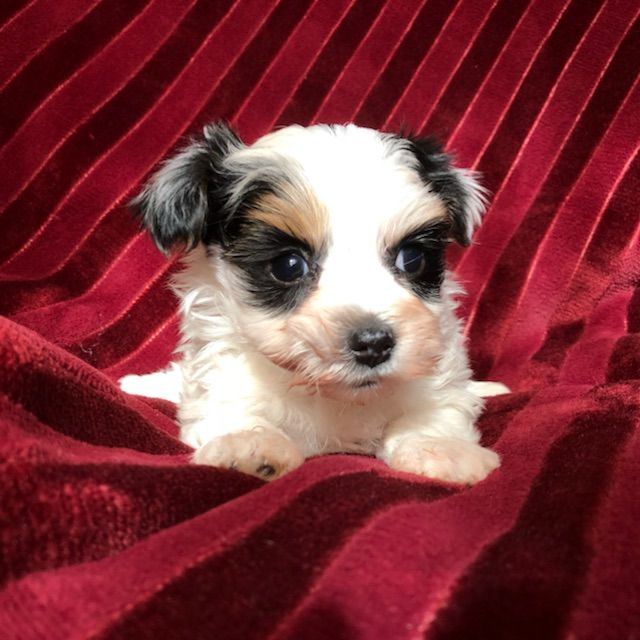 Yorkshire Terrier Puppy For Sale In Houston Tx Adn 62982 On Puppyfinder Yorkshire Terrier Puppies Yorkshire Terrier Puppy Yorkie Yorkshire Terrier