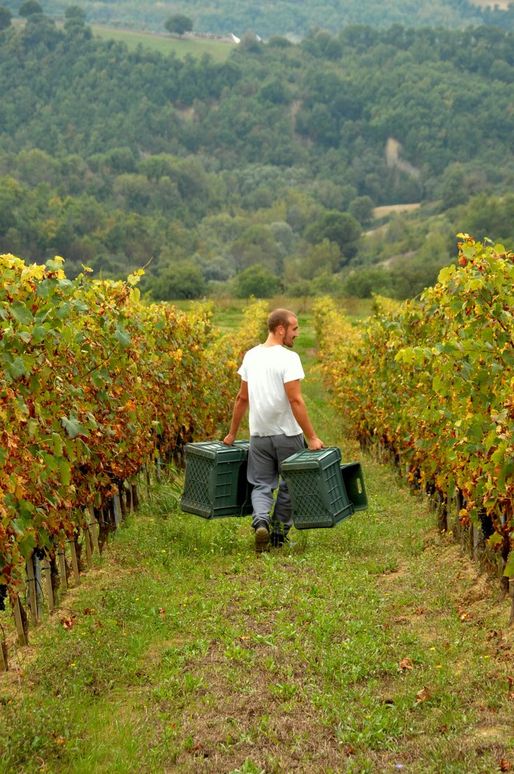 Grape Harvest Begins