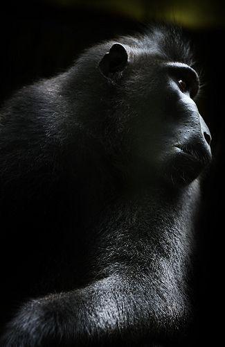 Machaca Nigra. Black monkey from Sulawesi Island.