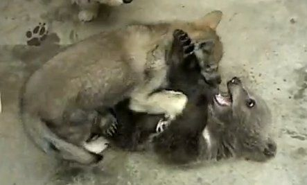 Grizzly and Wolf Cub Play (Video)
