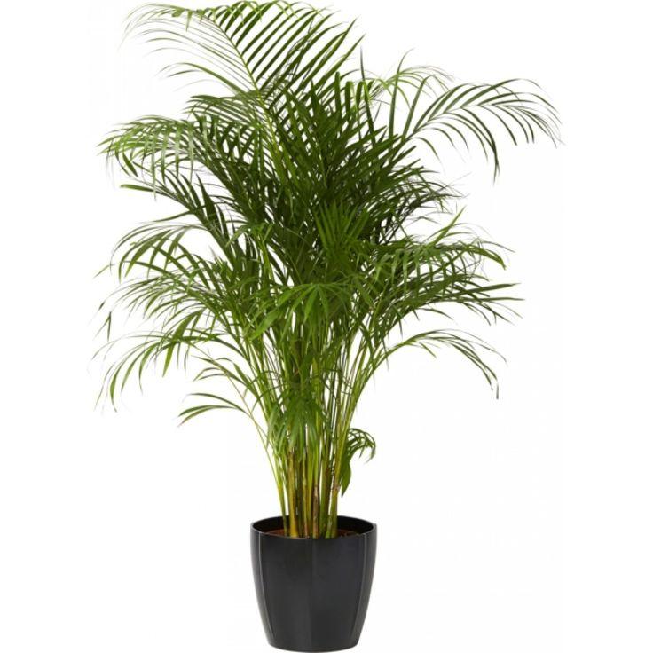 46 best images about inneplanter og potter on pinterest ficus elastica boston ferns and. Black Bedroom Furniture Sets. Home Design Ideas