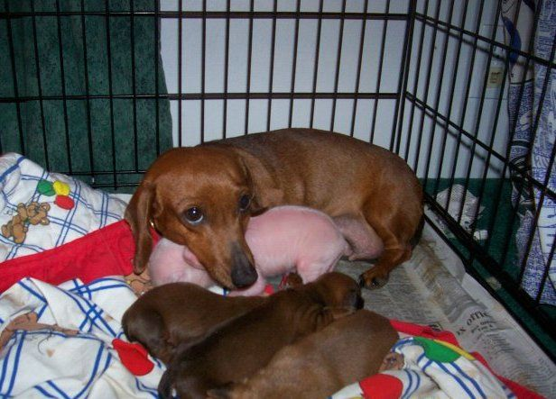 The Dachshund & The Pink Pig - This Dachshund is fostering this little guy for another mom who couldn't take care of him. He had his eyes closed, but now they are open. He is just a little bigger than her other pups. She loves this little guy as much as the other puppies and she is nursing him back to health. He is the cleanest pig-puppy ever, because she licks him all the time!     HIS NAME IS PINK....: Piglets, Little Pigs, Dogs, Doxi, Dachshund, Pet, Baby Pigs, Pink Pigs, Animal