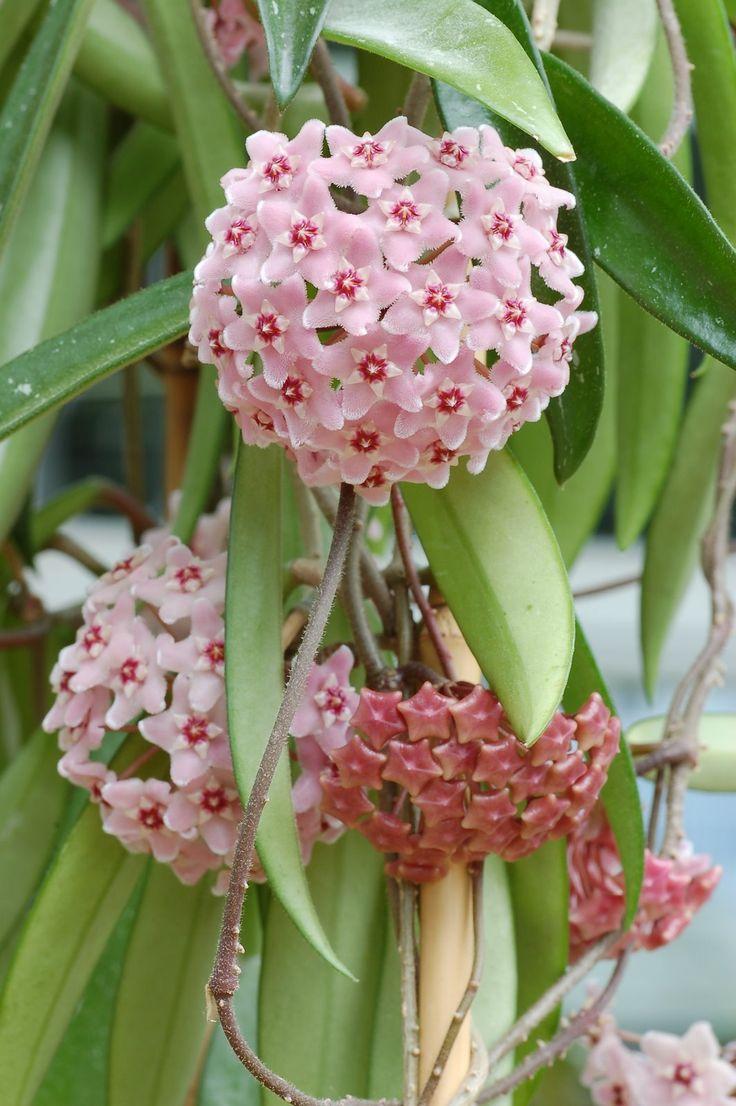 25+ Best Ideas about Hoya Plants on Pinterest   Flowering house plants, Wonderful flowers and ...