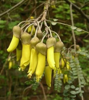 Kōwhai are small, woody legume trees in the genus Sophora native to New Zealand. by Eva0707