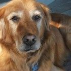 This is Carson approx 7-9 yrs. He was picked up as a stray in Idaho. He was very nervous, not eating & shaking while shelter & needs a home where he will always be in familiar surroundings. He is potty trained, has good house manners, rides well in a car - uses a ramp to get in & out of the car, walks well on leash, gets along with dogs, not cat tested. He is afraid of fireworks & loud noises. Carson is at Golden Bond Rescue of Oregon.