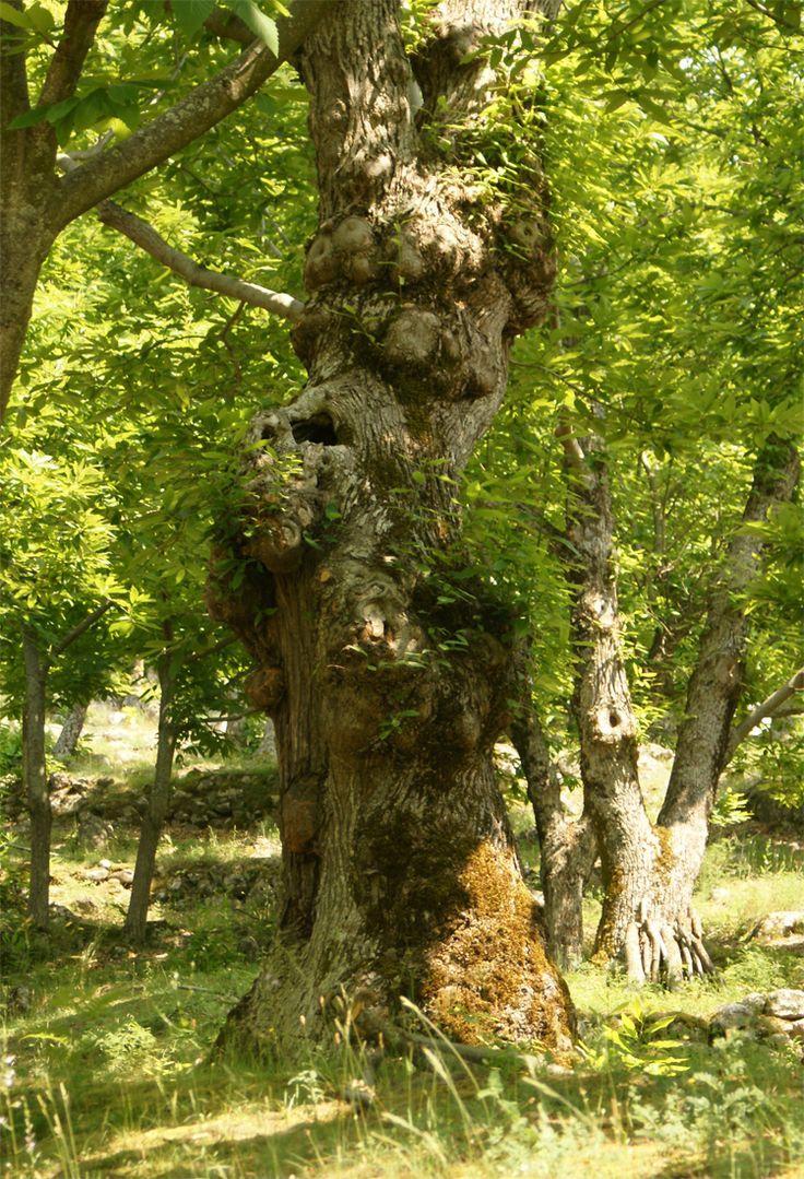 tamme kastagne boomgaard Italië