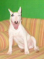 Смешные фото собак бультерьеров — 21.03.09