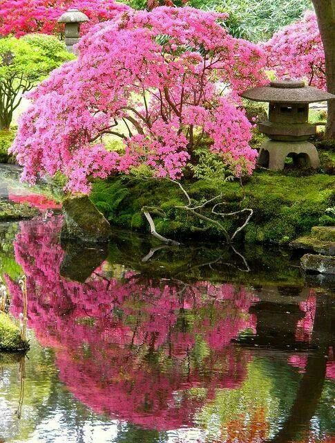 Reflection Of A Japanese Garden Pink Cherry Blossom Tree