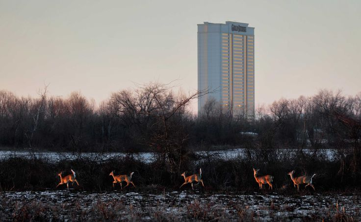 Deer roaming near the casinos in Tunica, MS  http://www.washingtonpost.com/sf/business/wp-content/uploads/sites/20/2015/07/tunica06.jpg