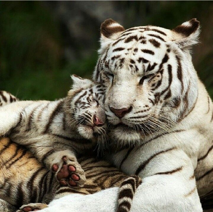 White tiger and baby